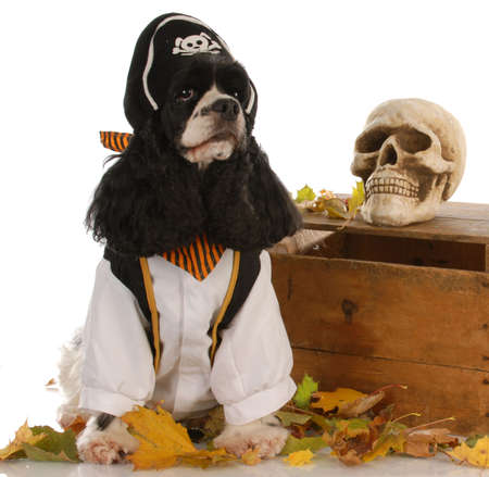 pout: american cocker spaniel dressed up like a pirate Stock Photo