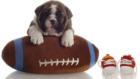 english bulldog puppy playing with football sitting beside running shoes photo