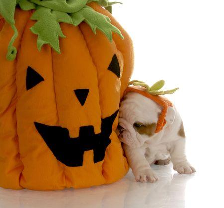 english bulldog puppy sitting beside stuffed pumpkin photo