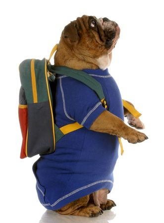 english bulldog standing up wearing blue sweater and backpack photo