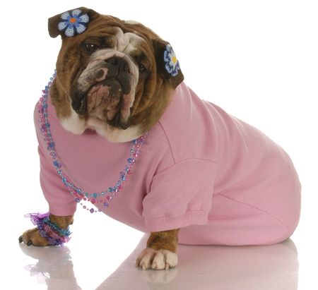 female english bulldog wearing pink clothing and jewellery photo