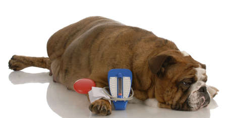 english bulldog laying beside toy blood pressure gauge with sorrowful expression photo