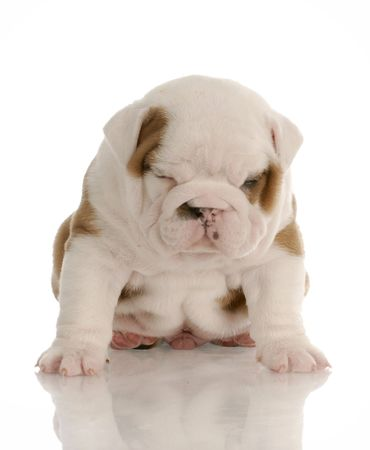 old english: four week old english bulldog puppy sitting with sour looking expression