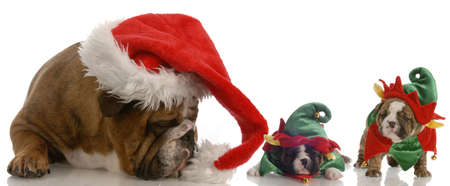 english bulldog santa with two bulldog elf helpers Stock Photo