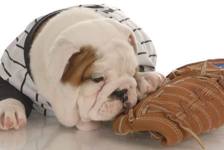 sports fan - english bulldog puppy wearing jearsey chewing on baseball glove Stock Photo - 6111197