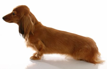 miniature long haired dachshund sitting from the side view Stock Photo - 6111156
