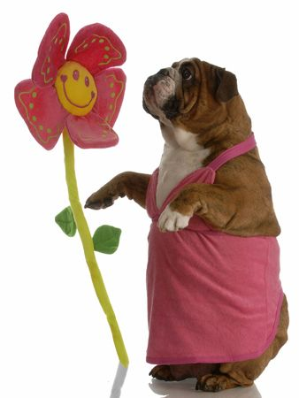 get well: english bulldog female stopping to smell the flowers