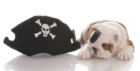 english bulldog puppy dressed up like a pirate Stock Photo - 6125563