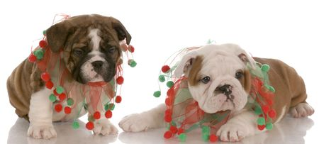 two english bulldog puppies wearing cute christmas scarves photo