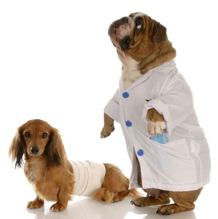 inoculate: english bulldog doctor or vet with wounded dachshund Stock Photo