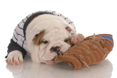 sports fan - english bulldog puppy wearing jersey chewing on baseball glove  photo