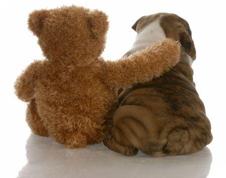 favoritos: mejores amigos - cachorro de bulldog ingl�s, sentado al lado de oso Foto de archivo