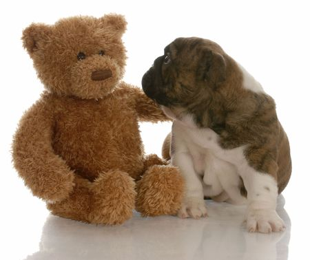 best friends - english bulldog puppy being comforted by teddy bear Stock Photo