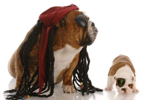 english bulldog adult and puppy dressed up as pirates Stock Photo - 6131667