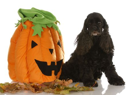 american cocker spaniel sitting beside pumpkin with reflection on white background photo