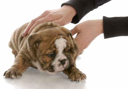 hands picking up five week old english bulldog puppy Stock Photo - 6139507