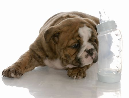 nursing bottle: bottle feeding young puppy - english bulldog puppy laying beside baby bottle