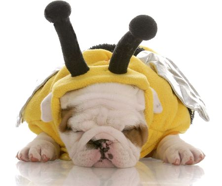 six week old english bulldog puppy dressed up as a bee  photo