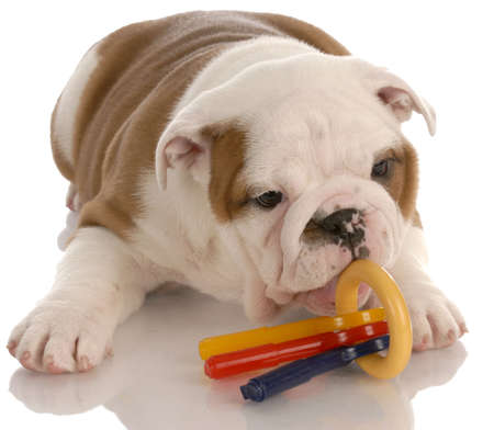 old english: nine week old english bulldog puppy chewing on toys Stock Photo