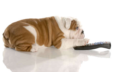 animal watching: dog with remote control - english bulldog nine weeks old