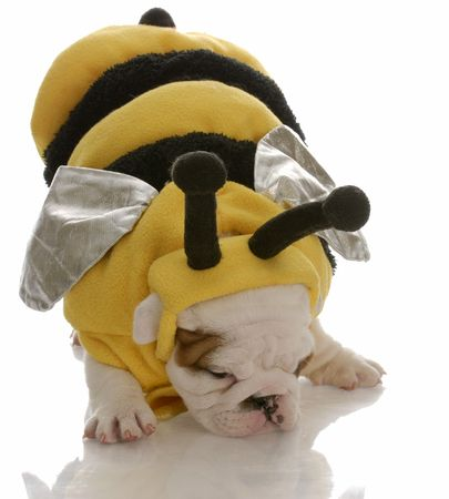 english bulldog puppy dressed up as a bee photo