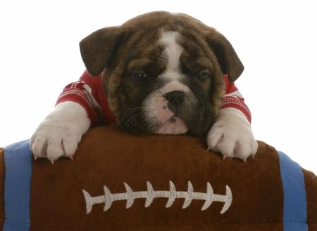 english bulldog puppy with paws up on a stuffed football - 5 weeks old    photo