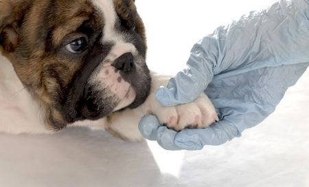 gloved: veterinary care - english bulldog puppy with paw being held by gloved hand Stock Photo