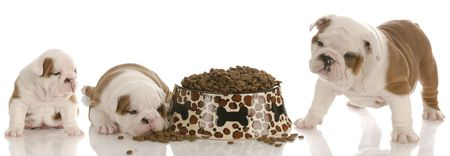 stages of puppy growth - english bulldog three, five and seven weeks photo