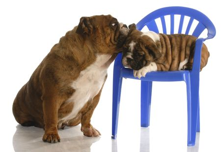 english bulldog mother with eight week old puppy photo