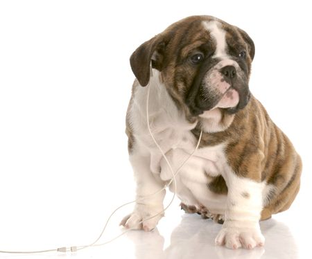 silver eared: english bulldog puppy listening to headphones on white background
