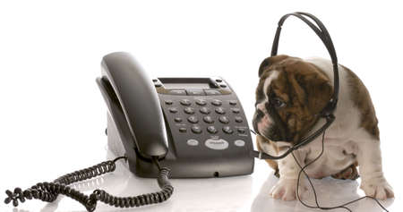english bulldog puppy wearing headset talking on the phone photo