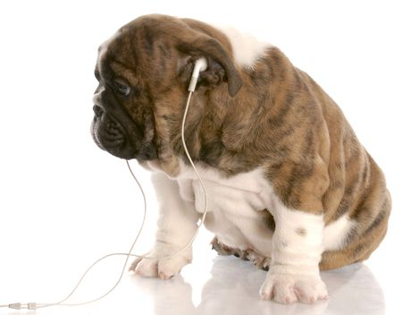 silver eared: bulldog puppy wearing headphones listening to music with reflection on white background