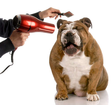 pet grooming: dog getting groomed - english bulldog laughing while being brushed