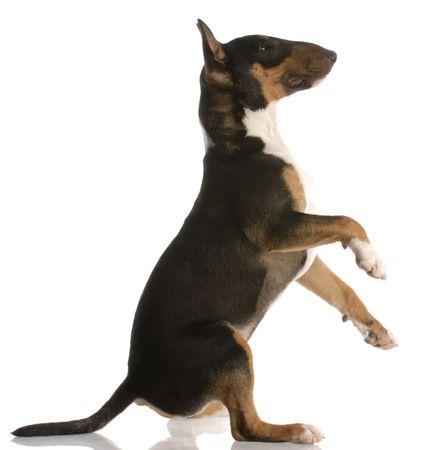 nine months: bull terrier sitting up - nine months old - on white background