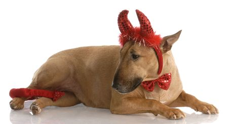 smut: bad dog - red smut bull terrier dressed up as a devil