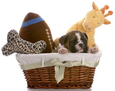 jouet: Puppy dans un panier - anglais bulldog de six semaines Banque d'images