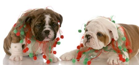 two english bulldog littermates wearing christmas scarves photo
