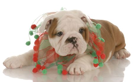 seven week old english bulldog puppy wearing christmas scarf photo