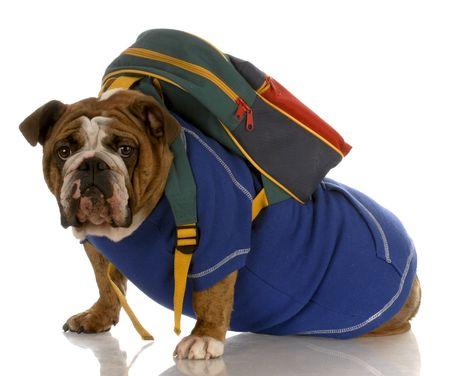 english bulldog wearing blue sweater with backpack on white background photo