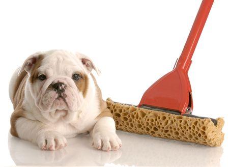 pee pee: bulldog inglese cucciolo posa accanto a una spugna mop