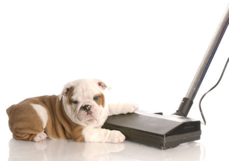 house cleaner: messy dog - english bulldog laying beside vacuum