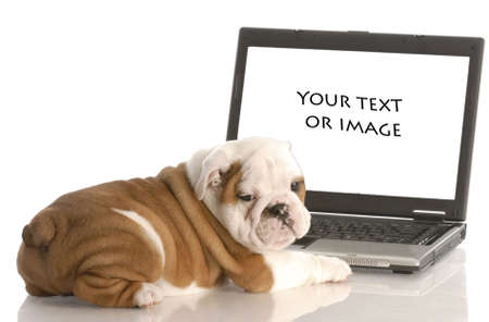 computer language: english bulldog puppy working on computer - add your own text or image Stock Photo