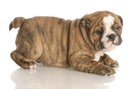 brindle: eight week old red brindle english bulldog puppy playing