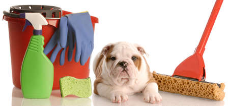 english bulldog puppy laying beside mop and bucket of cleaning supplies photo