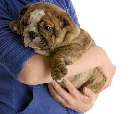 person holding on to english bulldog puppy on white background Stock Photo - 6208570