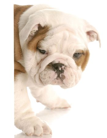 old english: seven week old english bulldog puppy peeking from around white foreground