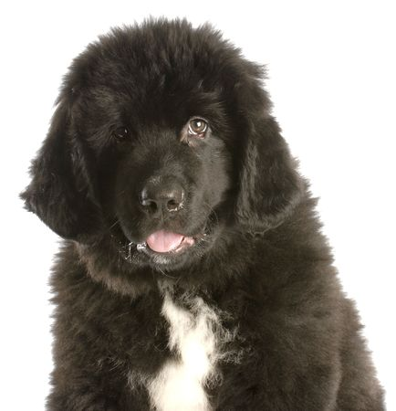 twelve week old newfoundland puppy on white background photo
