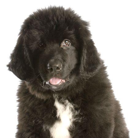 twelve week old newfoundland puppy on white background photo
