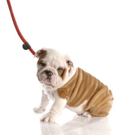 nine week old english bulldog puppy on a leash sitting photo