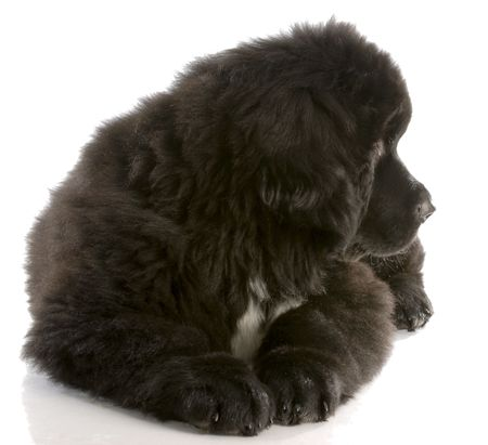 black and white newfoundland dog: newfoundland puppy laying down looking to the side - twelve weeks old Stock Photo